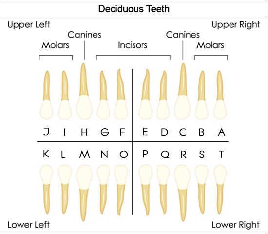 Diagram Of Mouth With Teeth Numbers 2008 Chevy Cobalt Stereo Wiring Dental Kids Diagrams Schematic Charts To Help You Understand The Tooth Numbering System Human In