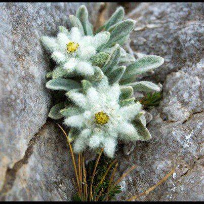 stelle alpine delle ns. Dolomiti