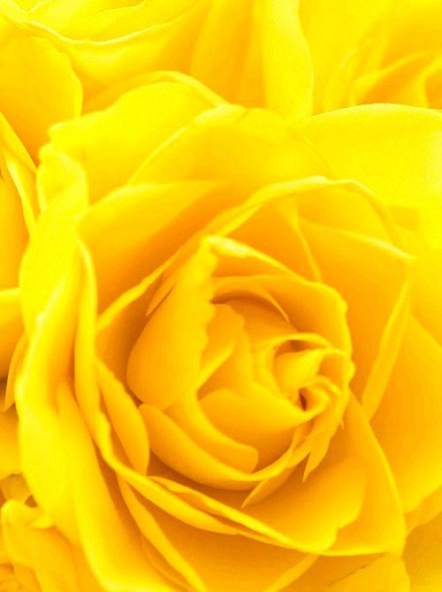 c-a-n-d-y—k-i-s-s-e-s: CANDY KISSES: Yellow rose