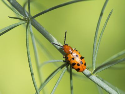 Spotted Asparagus Beetle Facts: Controlling Spotted Asparagus Beetles In Gardens - It can be especially devastating when an asparagus patch falls victim to pests. One very common asparagus pest is the spotted asparagus beetle. Learn some spotted asparagus beetle facts and how to prevent spotted asparagus beetles in this article.