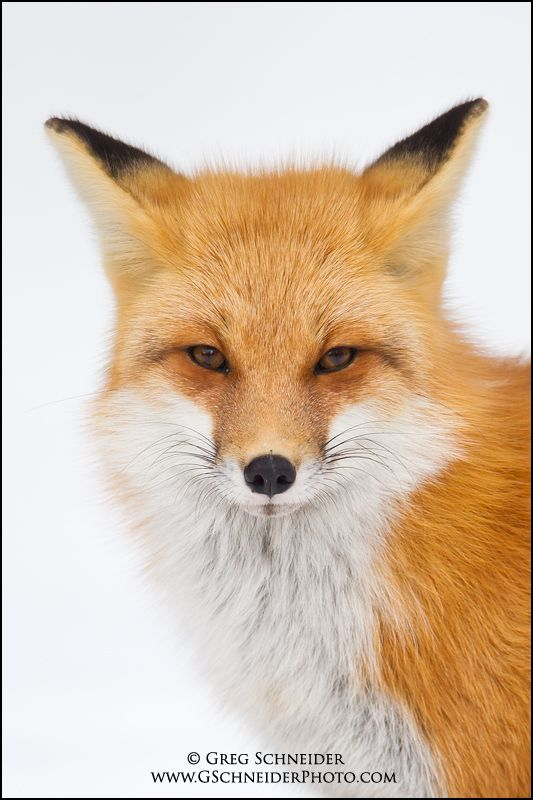 Red Fox Portrait - National Geographic Magazine Cover (March 2011) by Greg Schneider