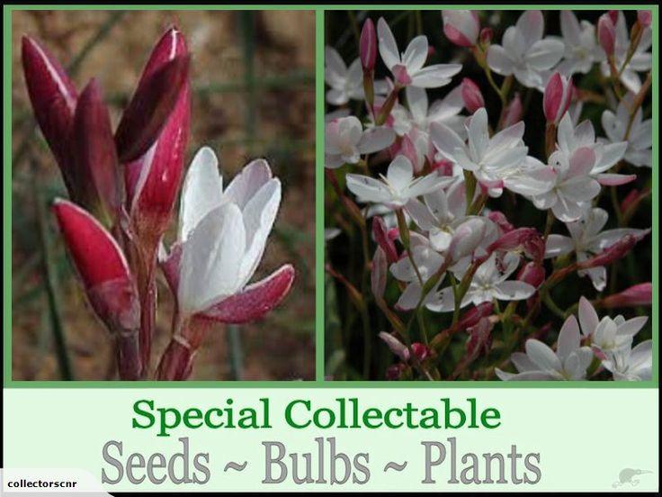 HESPERANTHA CUCULLATA **Special Rare Seed ** | Trade Me