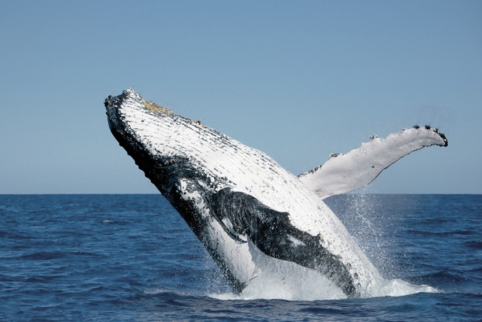 Check out the gentle giants of the sea at Hervey Bay – The Whale watching capital of Australia.