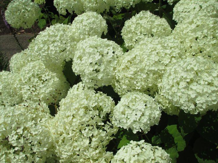 White Hydrangas