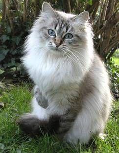 Gorgeous Siberian Cat   ChiChi Suarez