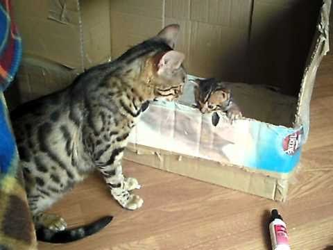 Too Cute! Bengal Mother Cat Talking to Her Kitten - We Love Cats and Kittens