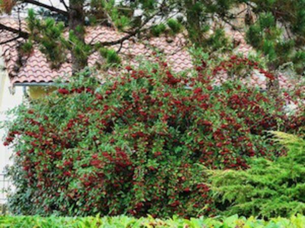 11 best flora planten varens images on pinterest ferns to grow and garden. Black Bedroom Furniture Sets. Home Design Ideas