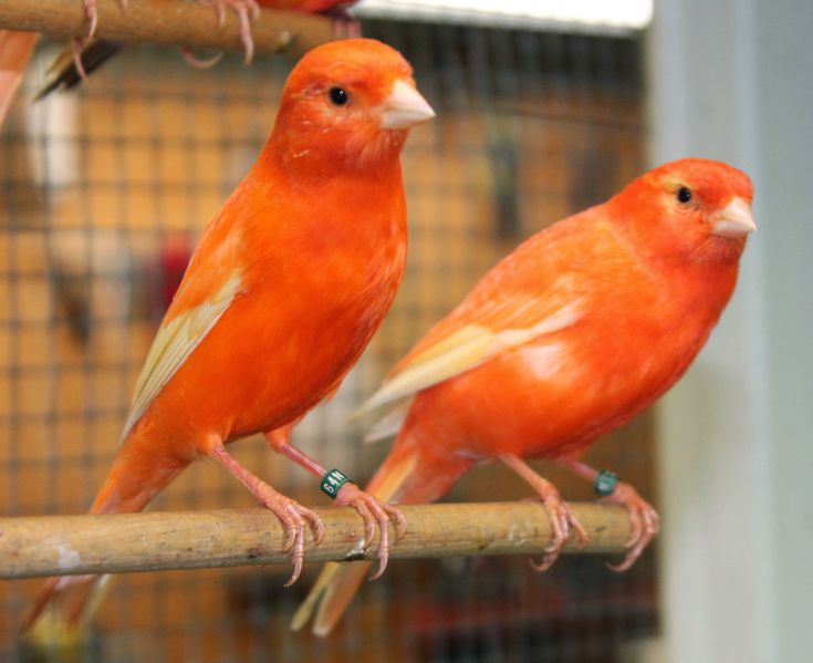 Joe's Canaries - Home | Stafford Canary | American Singer Canary | Stafford Canaries | American Singer Canaries