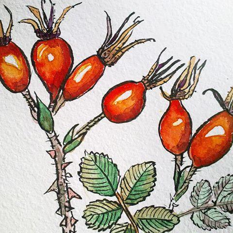 #watercolor #акварель #тушь #botanicalprint #шиповник #botanicalillustration #rosehips, #flowers