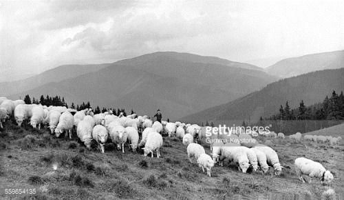 Berger et troupeau de moutons d'une coopérative agricole, à... #pavcinalehota: Berger et troupeau de moutons d'une… #pavcinalehota