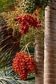 Areca Nut Palm Stock Photos, Pictures, Royalty Free Areca Nut Palm Images And Stock Photography