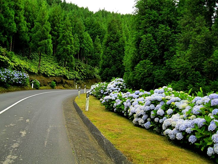 hydrangeas in the Azores