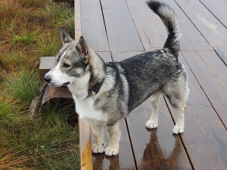 Min västgötaspets Ådi My Swedish vallhund Ådi, hiking in ...