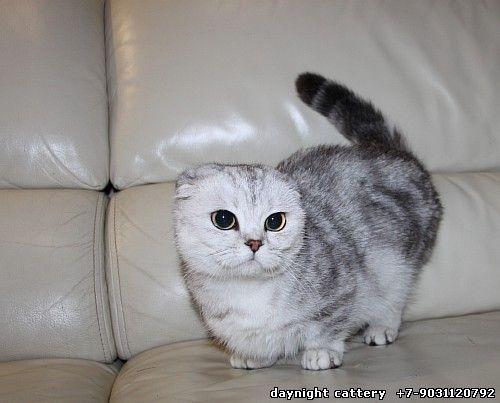 25 Best Ideas About Munchkin Cat Breeders On Pinterest