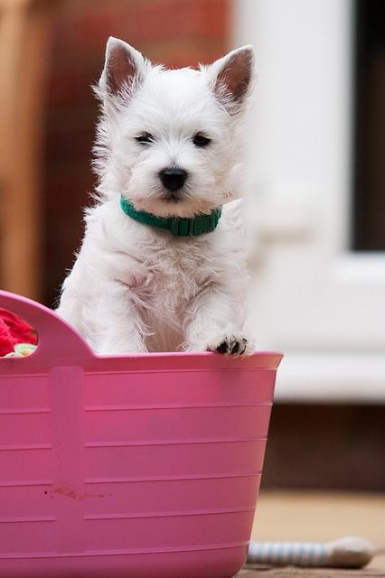 Westie In a Pink Bucket