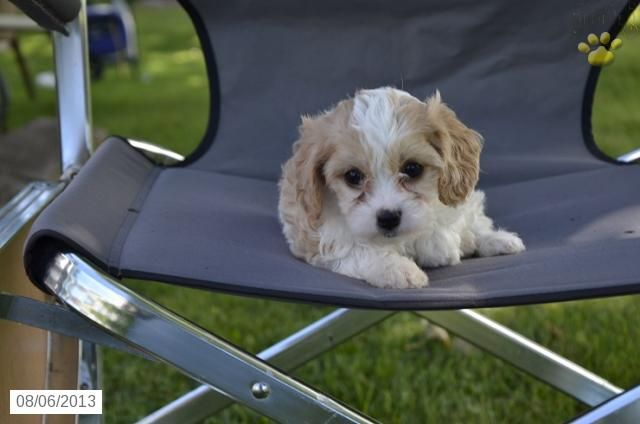 Baylee - Cavashon Puppy for Sale in Sugarcreek, OH - Cavashon - Puppy for Sale