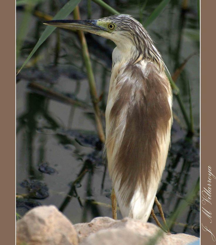 Aquacco heron - PA310084ts