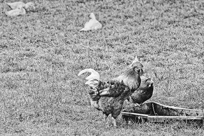 bwstock.photography - photo | free download black and white photos  //  #cock #hen #duck