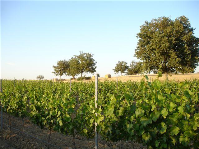 Un día soleado en Bodegas Dehesa de Cadozos. Just a sunny day in Dehesa de Cadozos vineyard. Bodegas, viñedos, vineyards, wine, vino.