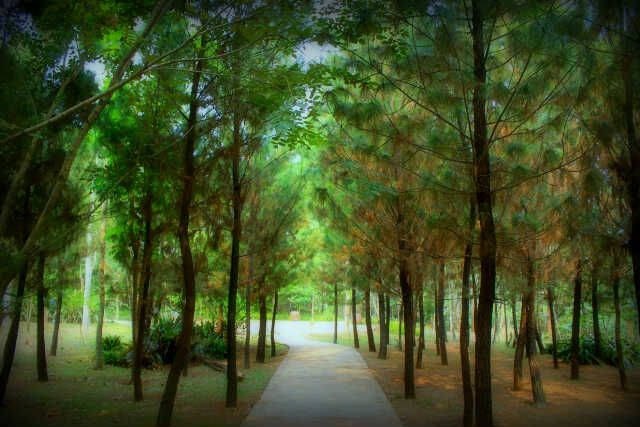A pine forest at Serpong area in Indonesia.