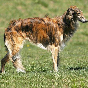 1000+ images about rare dog breeds on Pinterest | Amazing ...