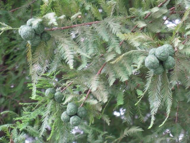 5月25日【ラクウショウ(落羽松)】学名:Taxodiumdistichum別名:ヌマスギ形態:落葉針葉樹 樹高:高木分類:スギ科秋に丸くて大きい実ができる。使われ方:公園樹などとして使われています。