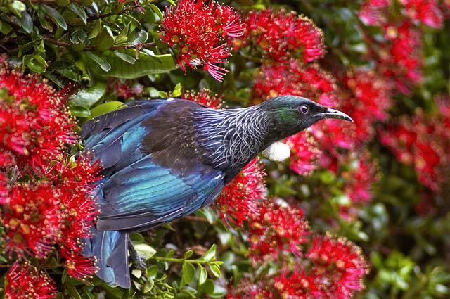 Citizen Science opportunity - this study needs information on nesting habits of Tui and Fantails in Wellington, New Zealand