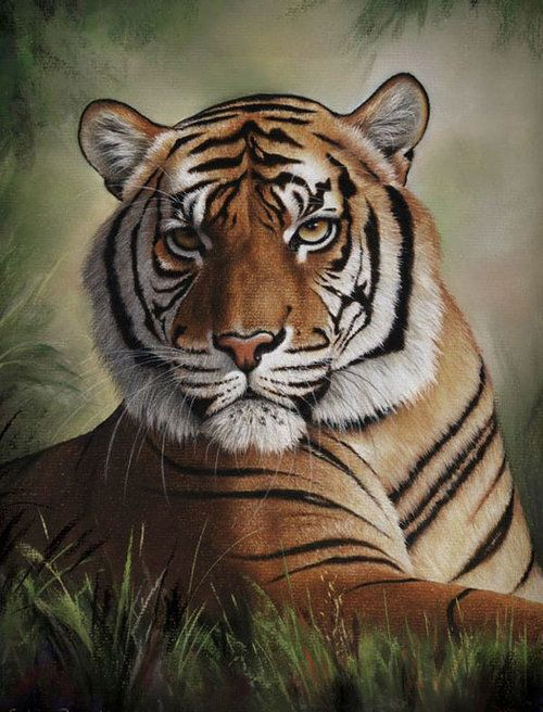 Tiger Pastel Pencil Art by Colin Bradley, Learn from Colin online: https://www.youtube.com/user/colin1940