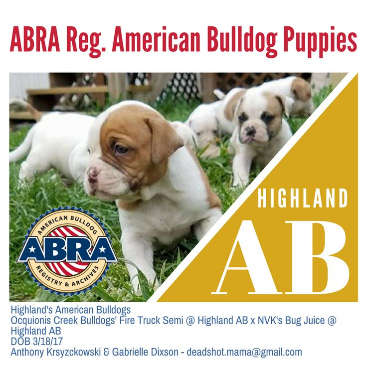 Highland's American Bulldogs Ocquionis Creek Bulldogs' Fire Truck Semi @ Highland AB x NVK's Bug Juice @ Highland AB DOB 3/18/17 Anthony Krsyzckowski & Gabrielle Dixson - deadshot.mama@gmail.com