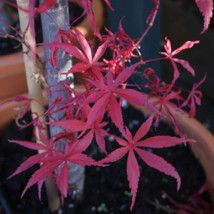 Acer palmatum 'Skeeters Broom' Japanese maple - 3 litres