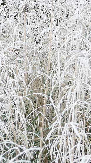Iced grasses so crisp you can almost feel the crunch. Grasses look great in the winter