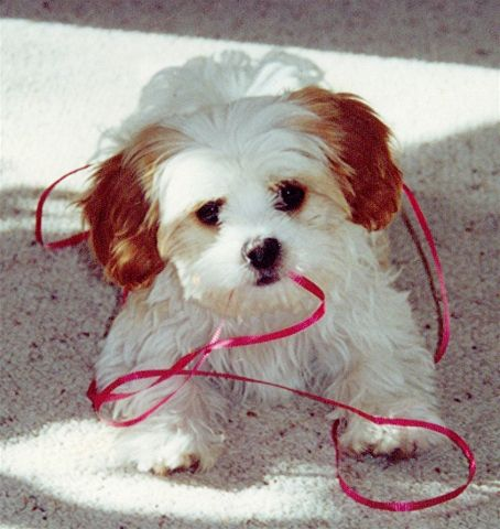 Maltalier - cross between pure Maltese and pure Cavalier King Charles Spaniel.