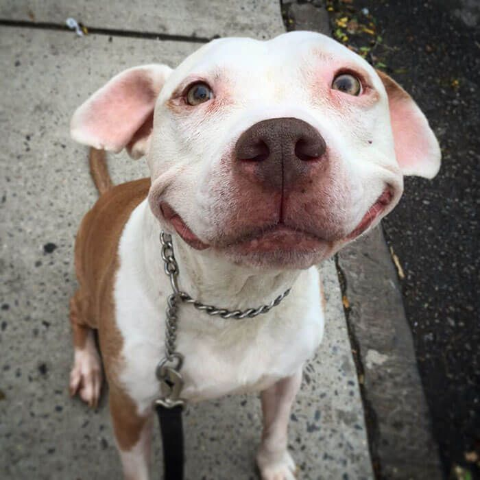 Adorable Pit Bull Can't Stop Smiling After Being Rescued From The Street