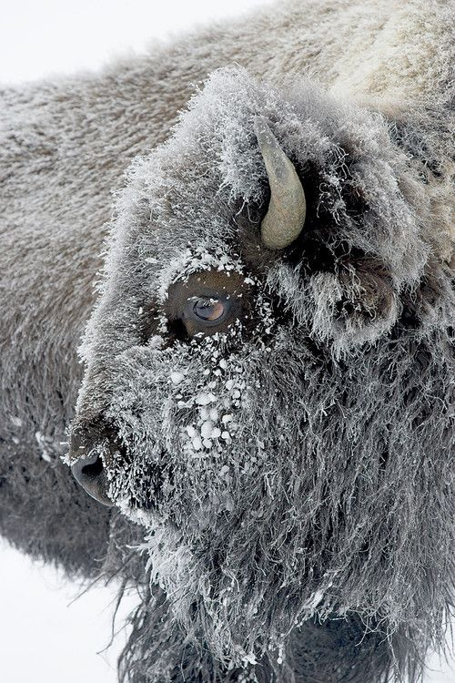 Frosty Bison by D. Robert Franz   that's me this morning, it was -42 and yes I exagerate, I couldn't grow f...