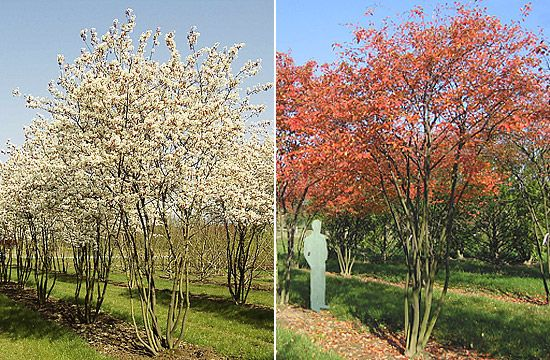 White flowers in spring, green leaves and edible fruits in summer, red foliae in autumn. Amelanchier Lamarckii. Favourite tree of Luciano Giubbilei.