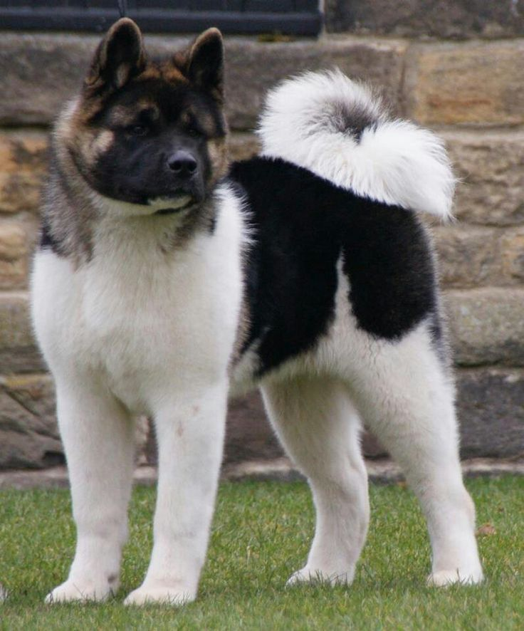 I think Rorey & Jameson would LOVE an Akita brother or sister!!!!