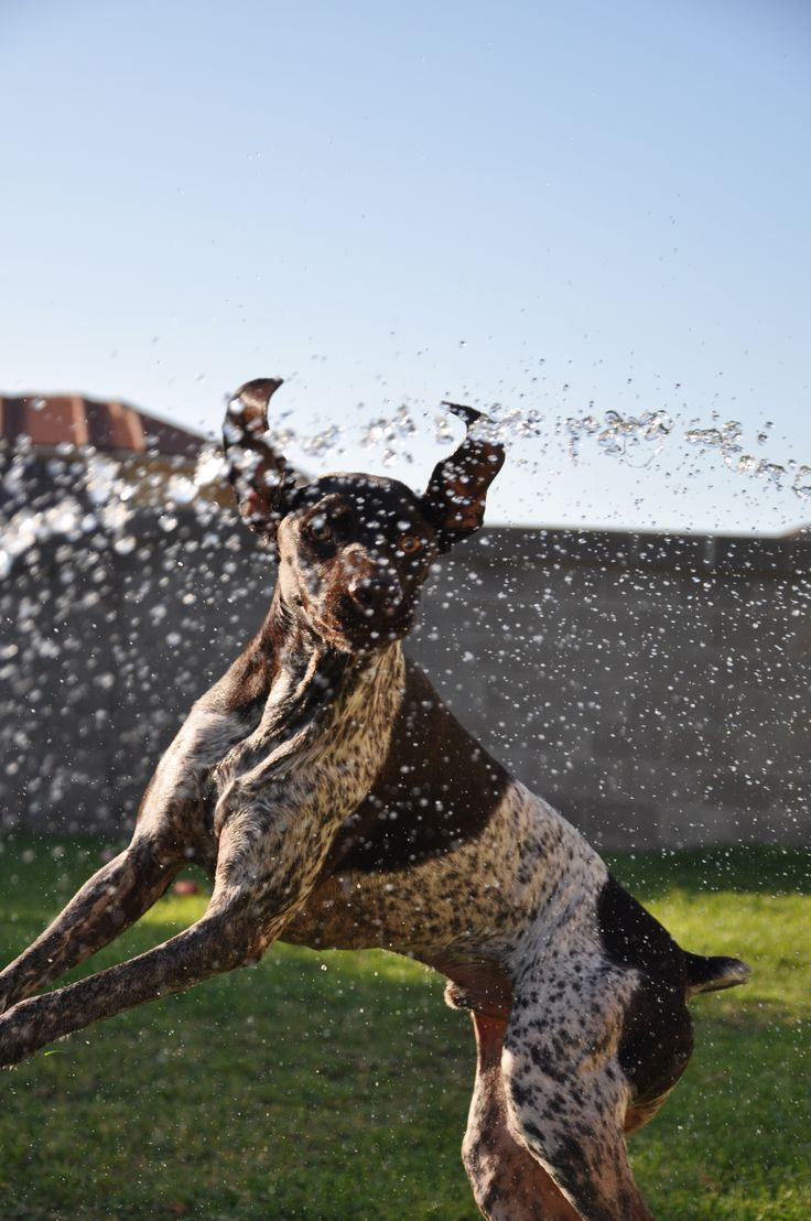 German Shorthaired Pointer in the backyard