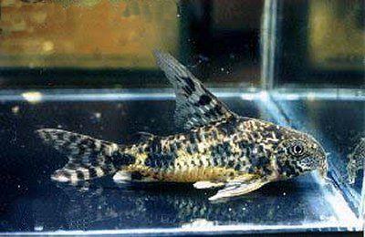 Corydoras paleatus = male
