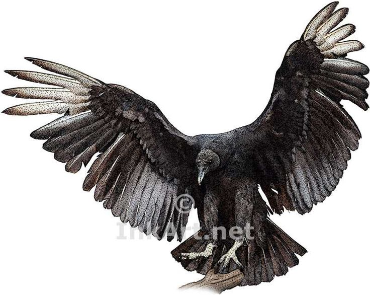 Full color illustration of a Black Vulture (Coragyps atratus)