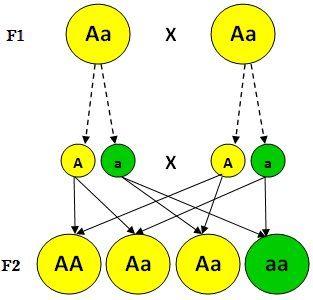 1.ª ley de Mendel: Principio de la uniformidad de los heterocigotos de la primera generación filial Establece que si se cruzan dos razas puras (un homocigoto dominante con uno recesivo) para un determinado carácter, los descendientes de la primera generación serán todos iguales entre sí, fenotípica y genotípicamente, e iguales fenotípicamente a uno de los progenitores (de genotipo dominante), independientemente de la dirección del cruzamiento