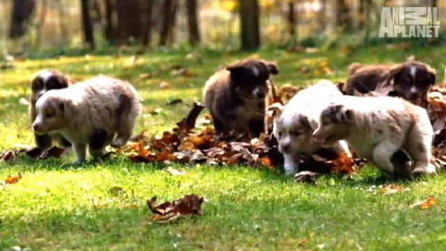 Too Cute!: Mini Australian Shepherds : Video : Animal Planet