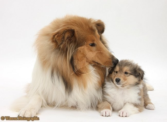 Rough Collie dog and puppy. It's so cute. I'm dying