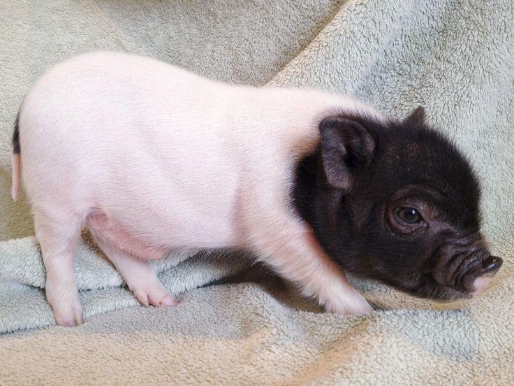 "Teacup pig | Blog - Miniature Teacup Potbelly Pigs for sale | piggy""s"