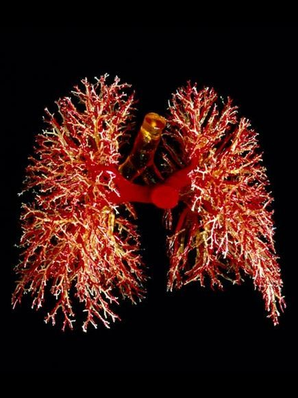 Bronchi fan out like coral in this resin cast that also shows pulmonary arteries and trachea. The bronchi supply air and pulmonary arteries supply blood to the lungs. Together they take in air from the atmosphere, oxygenate the blood, and excrete the carbon dioxide back out of the body.