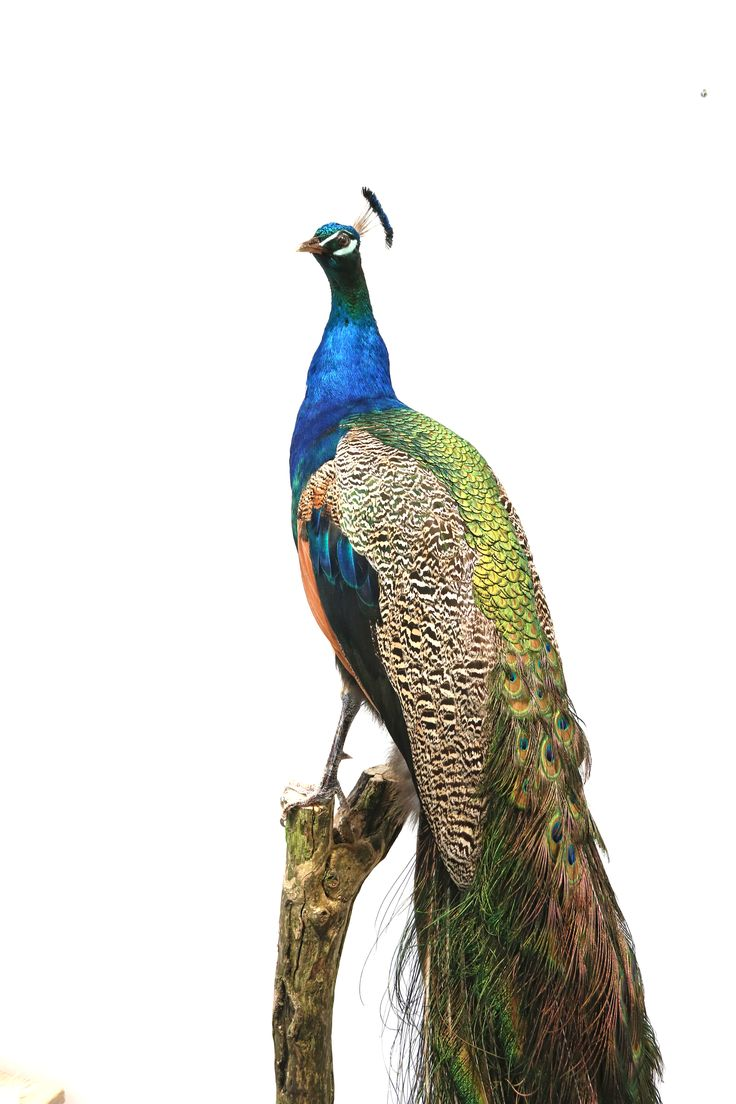 Peacock taxidermy - www.wonderfulnature.nl