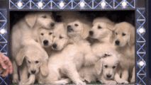 jimmy fallon deploys a pack of adorable puppies to predict who will win super bowl 51, the new england patriots or the a... -