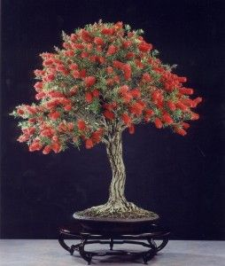 Native Australian Bottlebrush Bonsai... Broom Style... What a Contrast Between Trunk and Leaves&Fruits!!