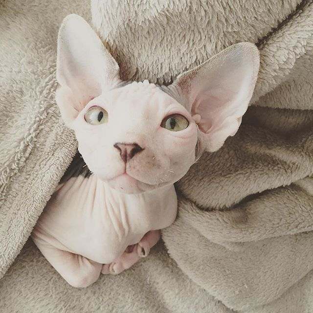 #Repost @ich_bin_katze  How much do YOU love your cat? ❤️ Get our Limited Edition Sphynx Cat Clothing Now --> Link in bio  Multiple colors available  ONLY DAYS UNTIL SALE ENDS!!!sphynxunlimited
