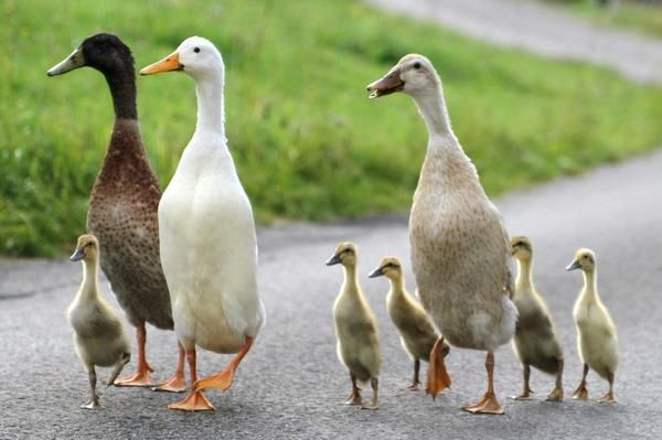 Das sind Laufenten!!