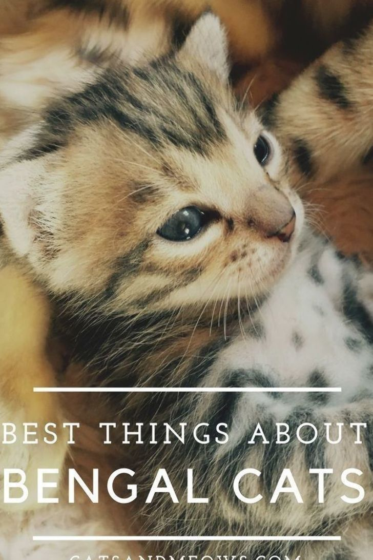 Many Bengal cat owners say that having a cat of this breed